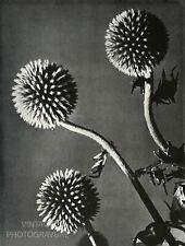 1920's MAN RAY 12X16 Matted Vintage Photo Engraving Botanic Still Life
