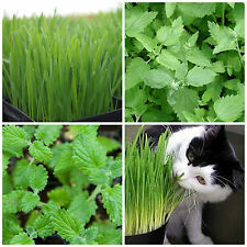 4 flavours CAT PACK – Cat Grass, Cat Nap, Cat Nip plants – seedling punnet