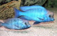 6 (six) x Cyrtocara moorii (Lake Malawi Cichlid)