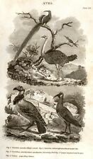 Nickolson's Encyclopedia -1819- OSTRICH, IBIS & VULTURE