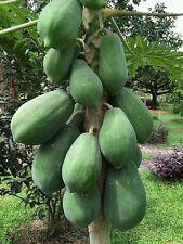 ☺30 graines de papaye géante récolte 2016. Variété Formose