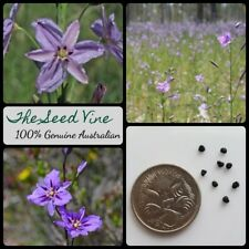 10+ CHOCOLATE LILY SEEDS (Arthropodium strictum) Drought Tolerant Edible