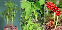 Arisaema Amurense * Jack-In-The-Pulpit * Green/White Stripes * Easy Growing Rare