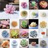 100pcs Variety Succulent Seeds Lithops Living Stones Plants Cactus Exotic Plant