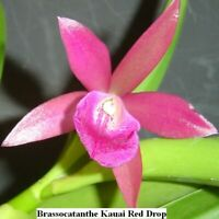 Brassocatanthe Kauai Red Drop 6'' Pot T660