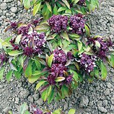 Hierba semillas-DULCE tailandesa - 400 Semillas de Albahaca