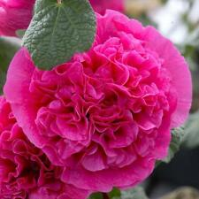 25+ Hollyhock Pink Chaters Double Flower Seeds - Alcea / Perennial / 8 Ft Tall