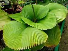 Palma Licuala orbicularis MOLTO RARO