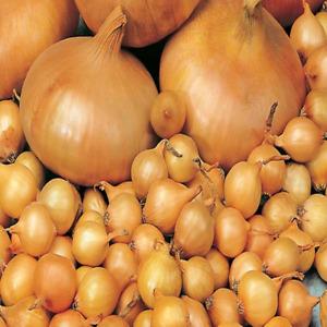 UK Seller 50 Onion Seeds /'Large Spanish Sweet/' Seeds Vegetable Seeds