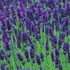 Pack x6 English Lavender Angustifolia 'Hidcote' Perennial Plug Plants