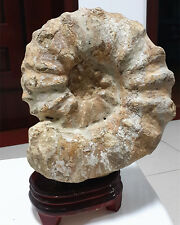 4860g  Huge conch stone natural shell specimens of Madagascar   F945