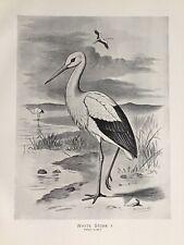 c1898 The WHITE STORK, Antique Bird Print, F. W. Frohawk, Original, Old, Large