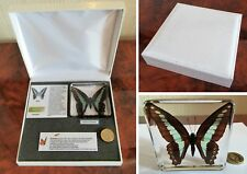 Butterfly in resin - real insects nature collection in quality gift display case