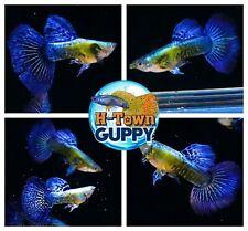 MALE ONLY x2  - Live Aquarium Guppy Fish High Quality -  Purple Dragon