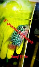 "5 pack VIP King Kamfa Flowerhorn special fry 1.5-2"" awesome fish"