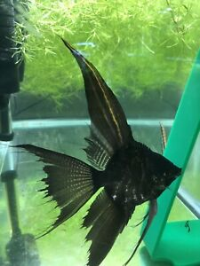 Black Marble  Angelfish - Dime Size (4 Pack)+(4 FREE) Will Ship 8 Total