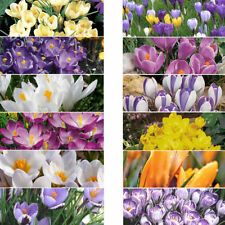 Crocus Partial Shade Bulbs, Corms, Roots & Rhizomes