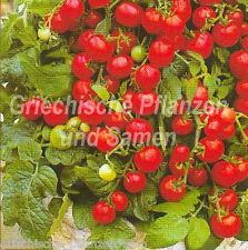 Balkontomate rot 10 Semillas frescas Tomates Tomates Maceta Balcón en la sala de