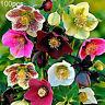HB- 100Pcs Helleborus Thibetanus Seeds Ornamental Flower Home Garden Bonsai Deco