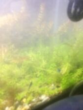 15+ Stems Of Pearlweed Free Shipping