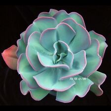 "Fresh Succulent Plant Seeds Succulents Sedum seed Echeveria big ""butterfly"""