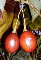 der wunderschöne Tamarillo-Tomatenbaum kann riesengroß werden !