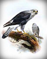 Dickinson's Kestrel Bird Art by Joseph Wolf. Bird Art .  11x14 Print
