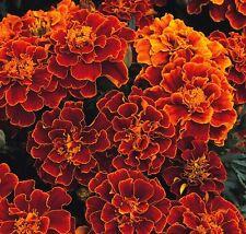 Kings Seeds - Marigold Spanish Brocade - 100 Seeds