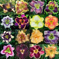 100 Stücke Seltene Hybrid Taglilie Blumensamen Hausgarten Mehrfarbig Mix Bonsai