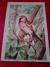Magnifique Chromo - Sizerin - Linotte - Oiseau