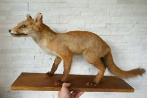 Taxidermy Nice Premium *Young RED FOX* life size mount, with PAPERS from 1970