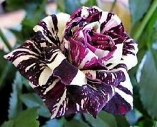 Black Dragon Rose Seeds - Stunning Bicolor Blooms - Rose Bush - 10 Seeds
