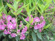 Kalmia angustifolia purpurflor, schmalblättrige Lorbeerrose, Blüte violettpurpur