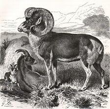 Pamir Wild Sheep 1894 Mammal - Gustav Ludwig Heinrich Mützel Victorian Engraving