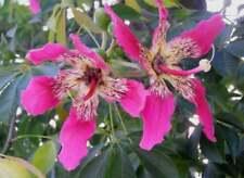 Silk Floss Tree Ceiba/Chorisia speciosa  5 Seed
