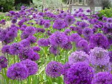"""Allium """"globemaster""""  (50 graines)"""
