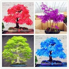20 Mini Beautiful Japanese Maple Bonsai Seeds Diy Bonsai tree Fresh Maple Seeds