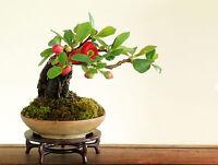 20 seeds of mini Japanese Quince bonsai tree flowers Ornamental