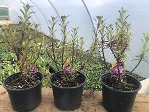 3 Iberis Absolutely Amethyst hardy well rooted plants, Overwintered In 10cm Pots