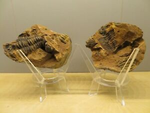 Crystal & Fossil Art -DOUBLE/TRIPLE Genuine Trilobite Fossil & Large Eco Stand