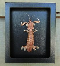 E522) Real MANTIS SHRIMP Squilla framed 5X6 mount Taxidermy Display crab USA