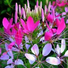 SPIDER FLOWER SEEDS CLEOME COLOUR MIXTURE CUT FLOWER POT GARDEN 200 SEED PACK