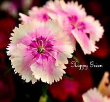 CHINESE INDIAN PINK MIX - 1000 seeds - Dianthus Chinensis - ANNUAL FLOWER