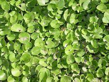 Dichondra micrantha Groundcover Seeds!