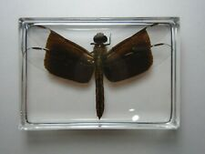 NEUROTHEMIS DECORA. Real Dragonfly insect immortalized in clear casting resin