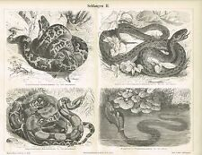 Tableau Python/Boa Constrictor/Ringelnatter 1889 Original-Gravure sur bois