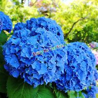 Semi 50pcs giardino in vaso blu Ortensia fiore pianta Fiore semi rari