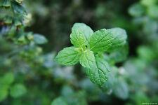 250 Samen Zitronenmelisse - Melissa officinalis Heilpflanze Gewürz Kräuter 1411