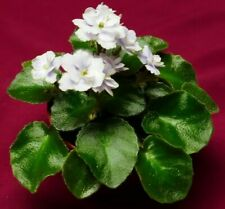 "African Violet Boo Man 2"" Pot Miniature Actual Plant"
