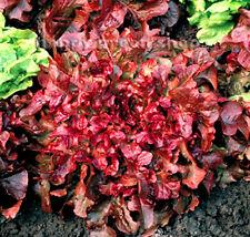 VEGETABLE - RED LETTUCE SEEDS - 1100 SEEDS - RED SALAD BOWL